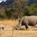 صورة حيوان وحيد القرن مهدد بالانقراض واصبح على القائمة الحمراء للحيوانات المهددة بالانقراض !