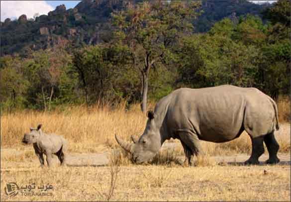 حيوان وحيد القرن مهدد بالانقراض واصبح