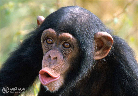 نجاح تجارب لقاح ضد فيروس الإيدز على القردة